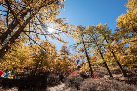 Autumn pine forest with sunlight shining with colorful flags prayer in national park