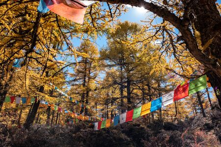 Sunlight shining in golden pine forest with colorful flags prayer flying in valley 스톡 콘텐츠