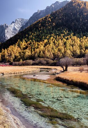 Scenery of golden pine forest with emerald river on plateau. Yading nature reserve 스톡 콘텐츠