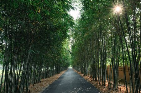Dark green bamboo forest with asphalt road and sunstar Reklamní fotografie