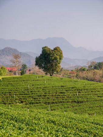 Lonely tree on tea plantation on hill
