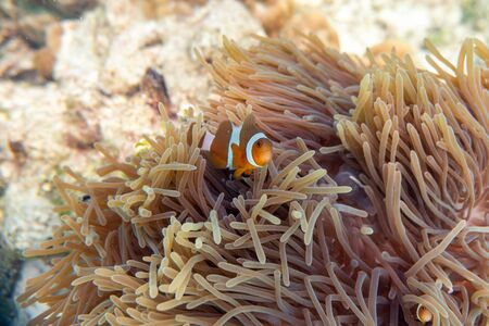 Colorful clownfish swimming in coral reef Reklamní fotografie - 134746133