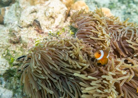 Colorful clownfish swimming in coral reef
