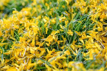 Close-up Marigold flower sprinkling on green grass Reklamní fotografie - 134746506