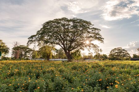 Giant rain tree in blossom marigold garden at sunset