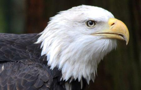 Bald Eagle @ Northwest Trek Wildlife Park
