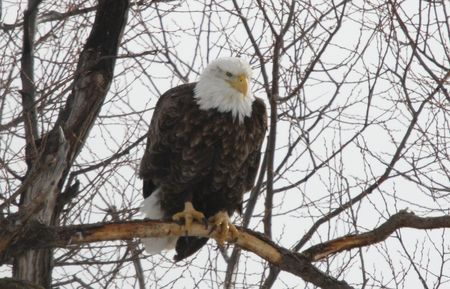 Bald Eagle In the Wild Stock Photo