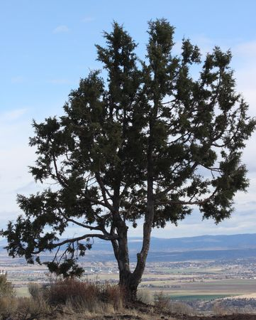 butte: Tree atop Round Butte near Madras, OR.