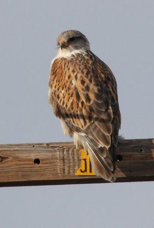 shouldered: Red Shouldered Hawk @ Lower Klamath National Wildlife Refuge
