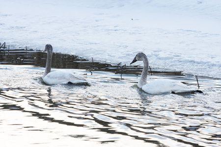 tundra swan: Tundra Swan @ Lower Klamath refugio nacional de vida silvestre