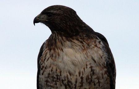 lower klamath: Red Tailed Hawk @ Lower Klamath National Wildlife Refuge Stock Photo