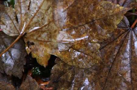 mount hood national forest: Fallen Leaves in Mount Hood National Forest