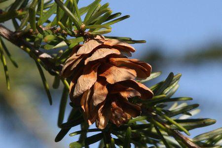 national forest: Pi�a de pino en el bosque nacional de Monte Hood  Foto de archivo