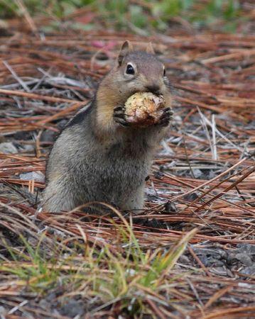 mount hood national forest: Golden Mantel Ground Squirrel in Mount Hood National Forest Stock Photo