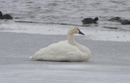 Tundra Swan @ Lower Klamath Wildlife Refuge, CA Stock Photo - 7332419