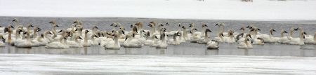 Tundra Swan Flock @ Lower Klamath Wildlife Refuge, CA Stock Photo - 7332646