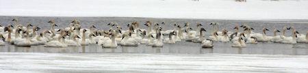 tundra swan: Tundra Swan Flock @ Lower Klamath Wildlife Refuge, CA