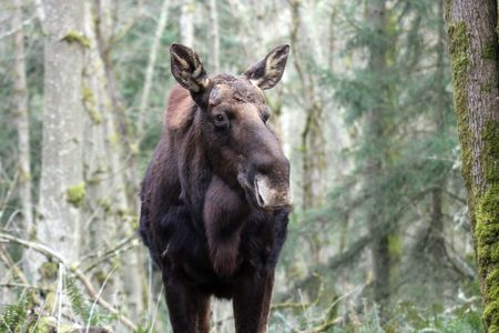northwest: Moose @ Northwest Trek Wildlife Park