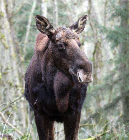 Moose @ Northwest Trek Wildlife Park photo