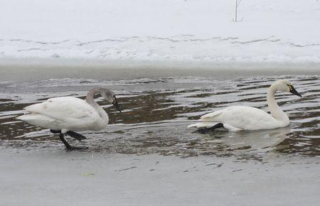 Tundra Swan @ Lower Klamath Wildlife Refuge, CA Stock Photo - 7361368