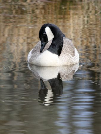 Canada Goose @ Northwest Trek Wildlife Park