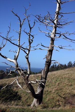 snag: Old Snag on Oregon Coast