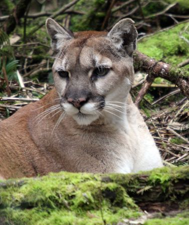 Cougar @ Northwest Trek Wildlife Park