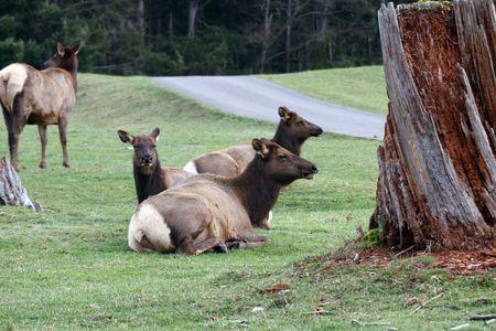 northwest: Elk @ Northwest Trek Wildlife Park