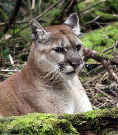 Cougar @ Northwest Trek Wildlife Park