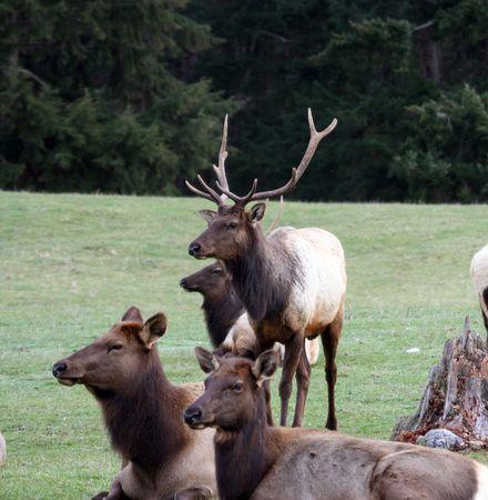 Elk @ Northwest Trek Wildlife Park Stock fotó - 7432106