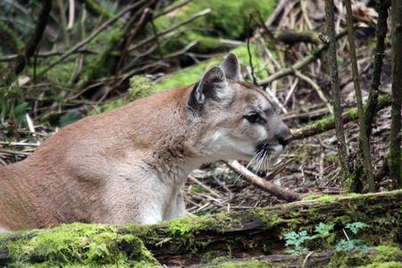 northwest: Cougar @ Northwest Trek Wildlife Park