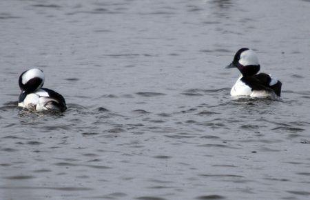 lower klamath: Bufflehead Duck @ Lower Klamath Wildlife Refuge Stock Photo