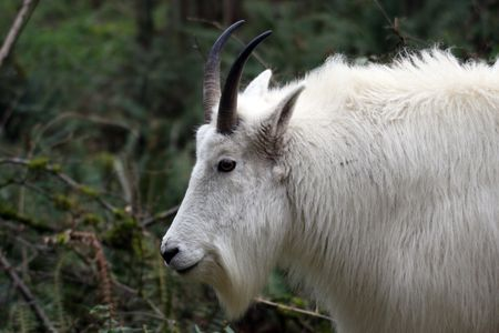 cabra montes: Mountain Goat @ Northwest Trek Wildlife Park
