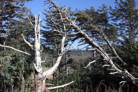 Old Snag on Oregon Coast