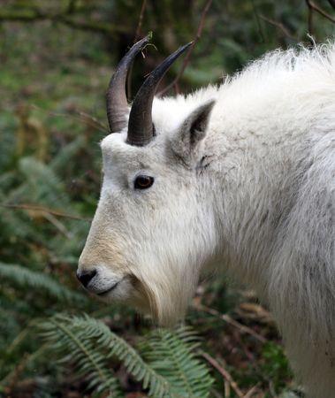 Mountain Goat @ Northwest Trek Wildlife Park Stock Photo
