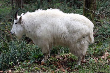 berggeit: Berg geiten @ North West Trek dieren park  Stockfoto