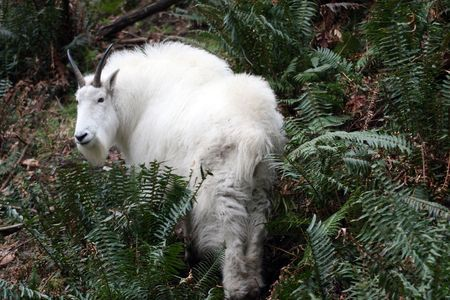 berggeit: Mountain Goat @ Northwest Trek Wildlife Park Stockfoto