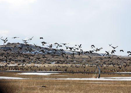 White Fronted Goose @ Lower Klamath National Wildlife Refuge Stock Photo - 7503802