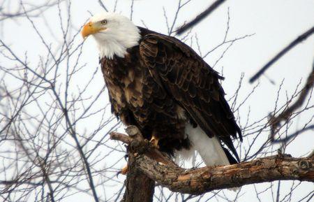 lower limb: Bald Eagle @ Lower Klamath National Wildlife Refuge