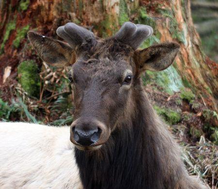 Elk @ Northwest Trek Wildlife Park