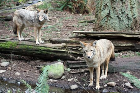 northwest: Coyote @ Northwest Trek Wildlife Park