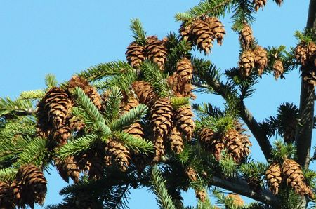 mount hood: Pinecone in Mount Hood National Forest