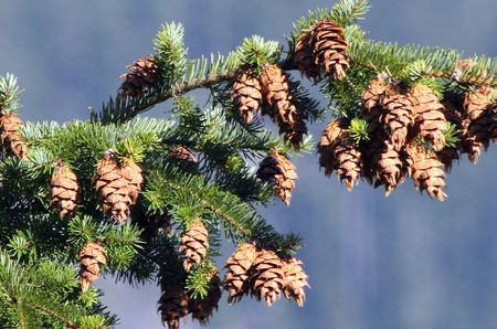 mount hood national forest: Pinecone in Mount Hood National Forest