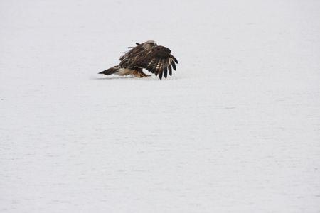 klamath: Rough Legged Hawk @ Lower Klamath National Wildlife Refuge Stock Photo