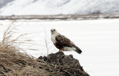 lower klamath: Rough Legged Hawk @ Lower Klamath National Wildlife Refuge Stock Photo