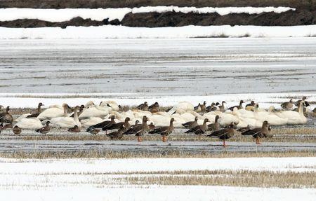 Tundra Swan @ Lower Klamath Wildlife Refuge, CA Stock Photo - 7525025