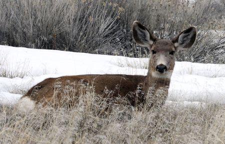 lower klamath: Mule Deer @ Lower Klamath National Wildlife Refuge