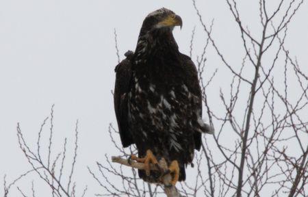 Bald Eagle @ Lower Klamath National Wildlife Refuge photo