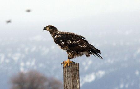 klamath: Bald Eagle @ Lower Klamath National Wildlife Refuge