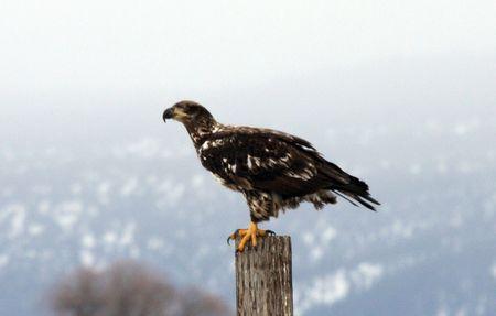 Bald Eagle @ Lower Klamath National Wildlife Refuge